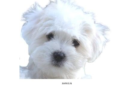 Coton Tulear Puppy