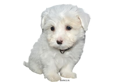 Coton Tulear watching