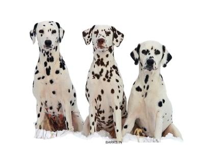 Dalmatian Dogs Sitting