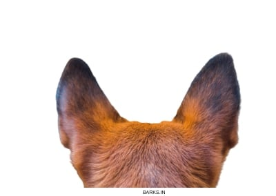 Dog healthy ears