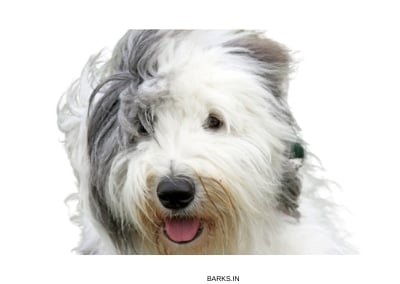 Egyptian Sheepdog