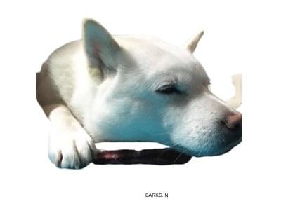 Hokkaido Inu Sleeping