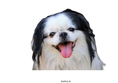 Japanese Chin Happy