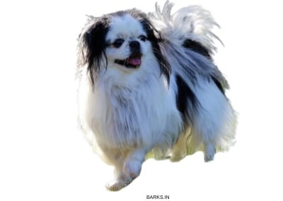 Japanese Chin Traits