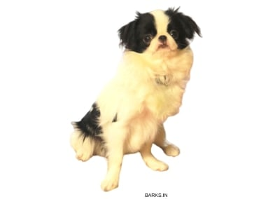 Japanese Chin Waiting