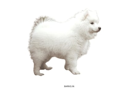 Japanese Spitz Traits