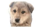 Jeju Dog