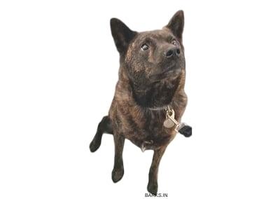 Kai Ken Dog