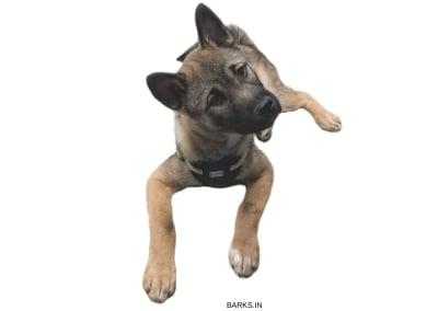 Kishu Ken Puppy