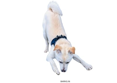 Korean Jindo Playing
