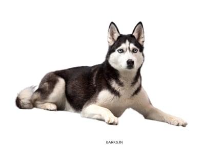 Sakhalin Husky Dog