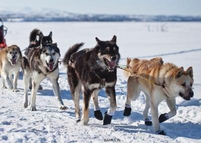 Sakhalin Husky Sled dogs