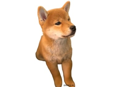 Sanshu Inu Puppy Sitting