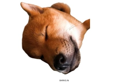 Sanshu Inu Puppy Sleeping