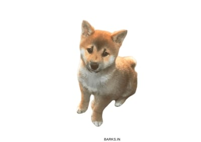 Sanshu Inu Puppy