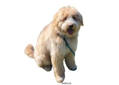 Sapsali Dog Fawn