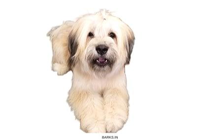 Sapsali Dog