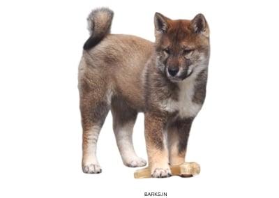 Shikoku Inu Puppy standing