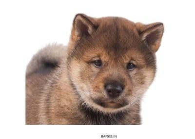 Shikoku Inu Puppy