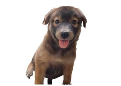 Srilanka Dog