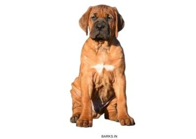 Tosa Inu Puppy