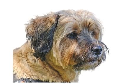 Alert Tibetan Terrier