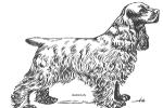 Alpine Spaniel