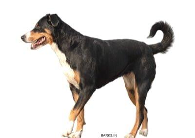 Appenzeller Sennenhund Alert