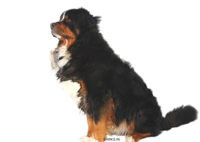 Bernese Mountain Dog Traits