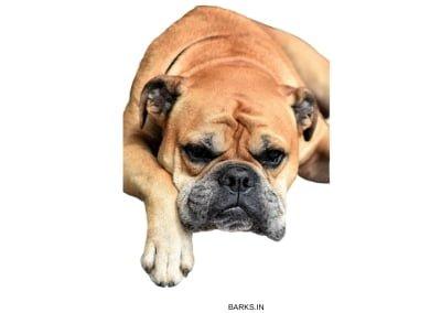 Continental Bulldog Resting