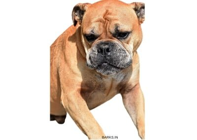 Continental Bulldog Traits