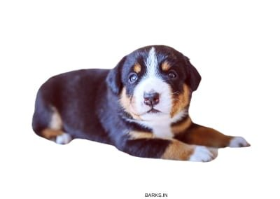 Entlebucher Mountain Puppy