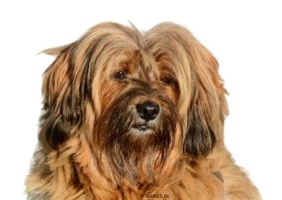 Loving Tibetan Terrier