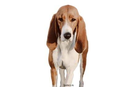 Schweizer Laufhund Standing