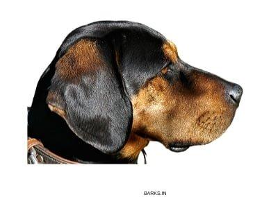 Schweizerischer Niederlaufhund Profile