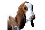 Schweizerischer Niederlaufhund