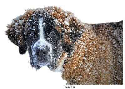 St Bernard in Snow