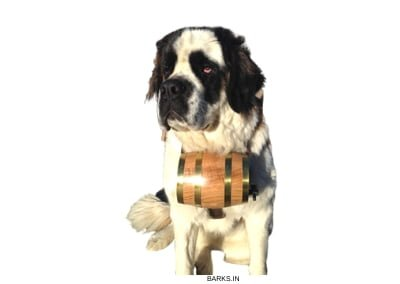 St Bernard with Barrel