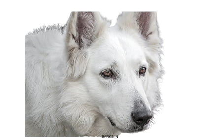 Swiss White Shepherd Profile