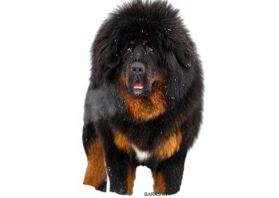 Tibetan Mastiff Adult