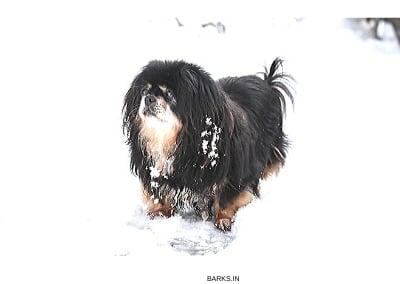 Tibetan Spaniel in snow