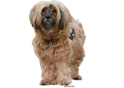 Tibetan Terrier Standing