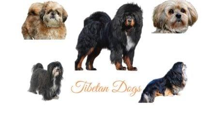 Tibetan Dog Breeds. Native dogs of Tibet
