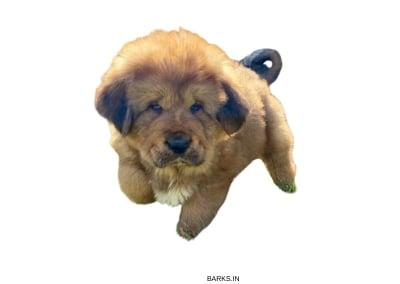 Tsang Kyi puppy