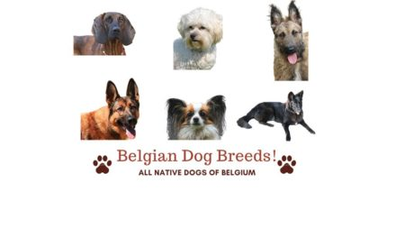 Belgian Dog Breeds. All 15 native Belgium dogs