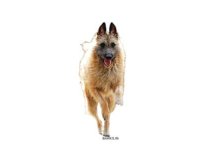 Belgian Laekenois Dog