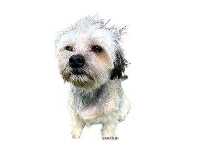 Belgian Lowchen Dog