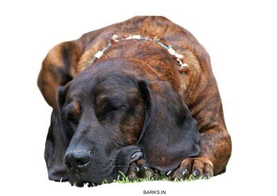 Bloodhound sleeping