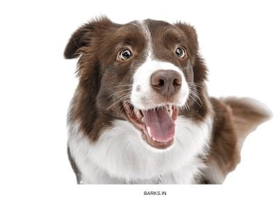 Border Collie Profile
