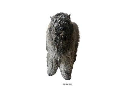 Bouvier Dog Standing